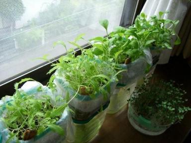 [ 水耕栽培/スプラウト栽培 ] | 暇人主婦の家庭菜園 - 楽天ブログ