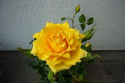 黄色い薔薇080516