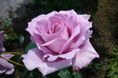 紫の薔薇080528-1