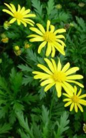 黄色マーガレット