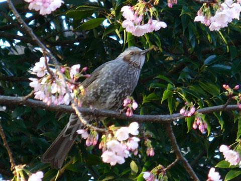寒桜とヒヨドリ
