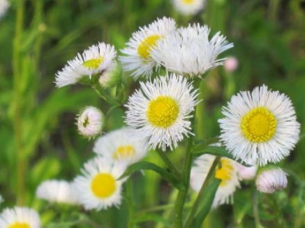ハルジオンの花 野に咲くニワセキショウとハルジオンの花   花こよみ - 楽天ブログ