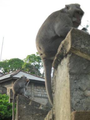 ウルワツ寺院でめがねを取ったサル