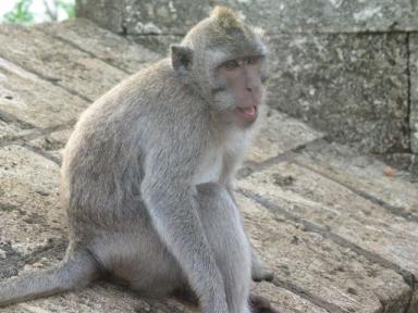 ウツワツ寺院の猿