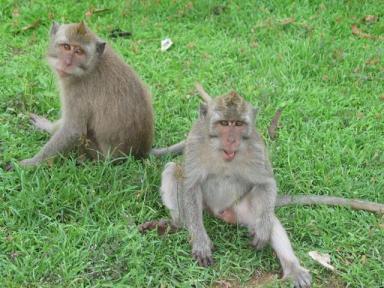 ウツワツ寺院の猿ども
