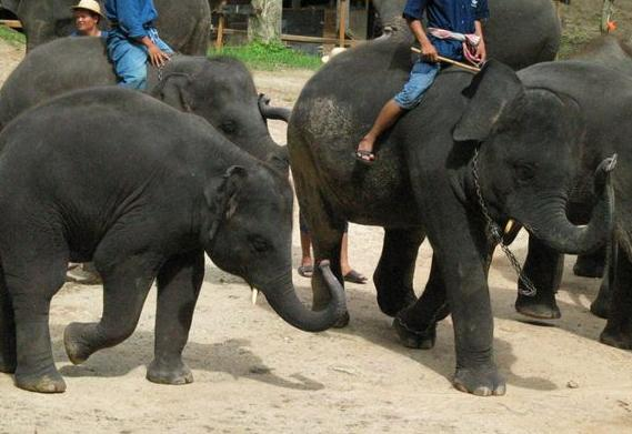 ホモニカ象