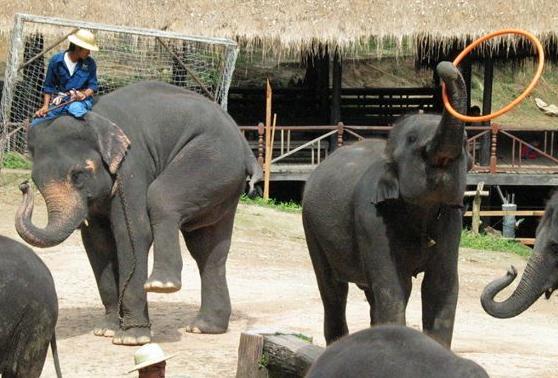 フラフープ象