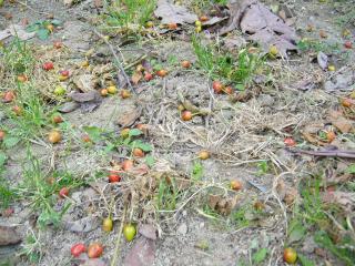 20090504サクランボの木の下.jpg