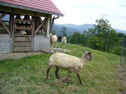 20090521毛刈りを終えた羊.jpg