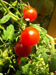 ミニトマト赤.jpg