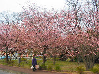 3月13日伊豆高原「大寒桜」