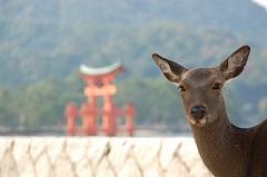 厳島人神社の鳥居と鹿