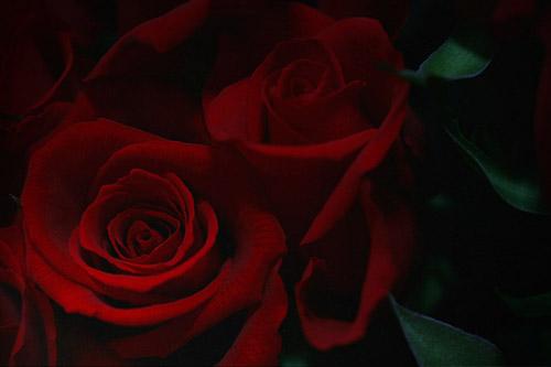 ROSE バラ 薔薇