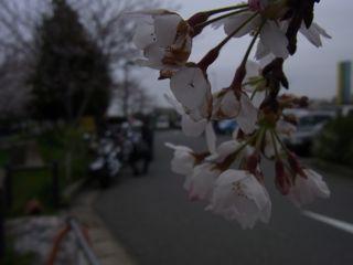 桜と仲間.jpg