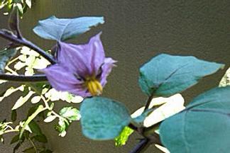 ナスの花の色はナスの色なんだね