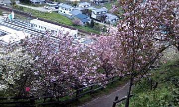 斜面に桜桜桜