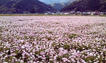 一面ピンクの花畑