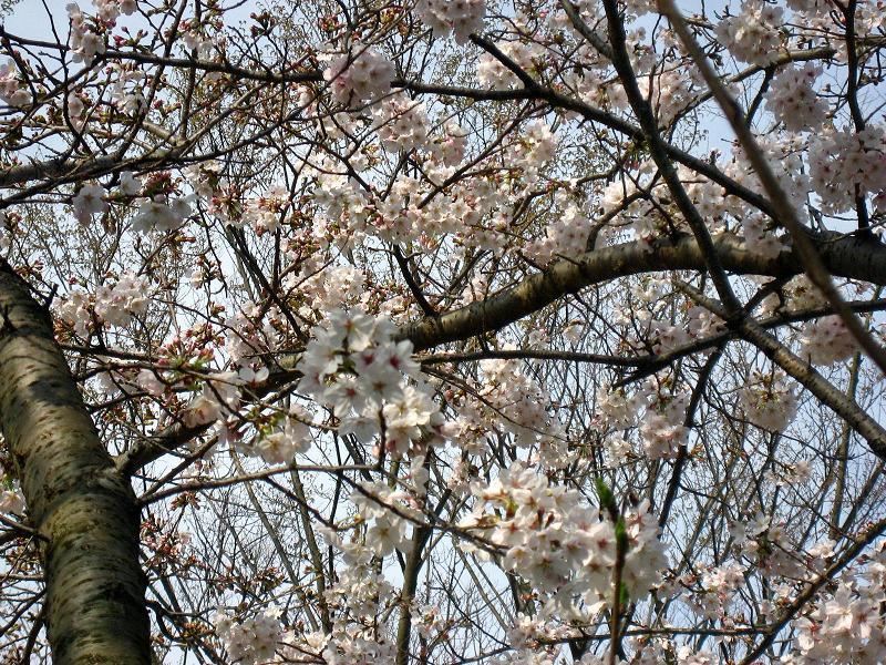 下関・桜の写真1