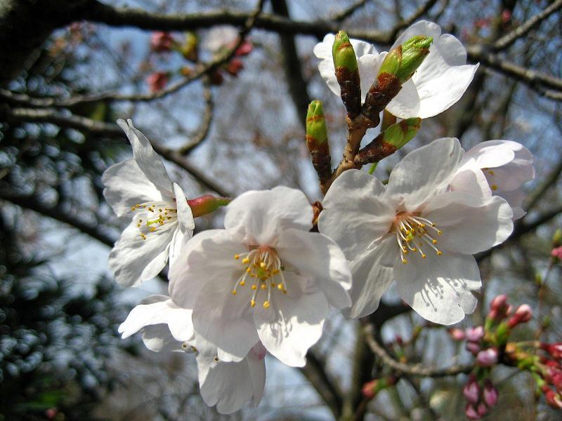 下関・桜の写真2