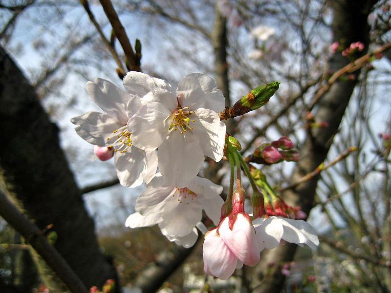 下関・桜の写真3