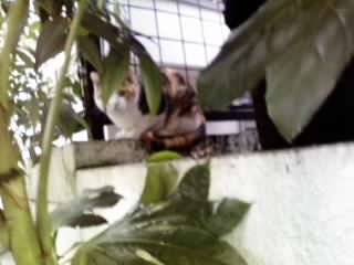 よその庭に三毛猫(トゥさん)
