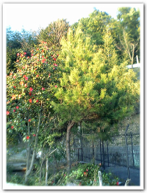 菜園の松と椿