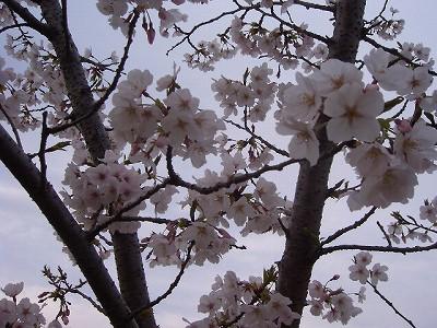 404今朝の桜 001.jpg