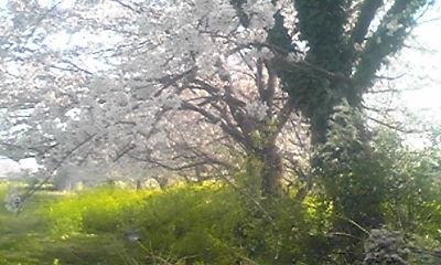 桜&菜の花 その2