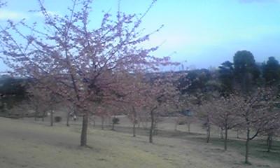 河津桜-3