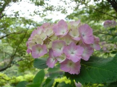 2009/6/14アジサイ.jpg