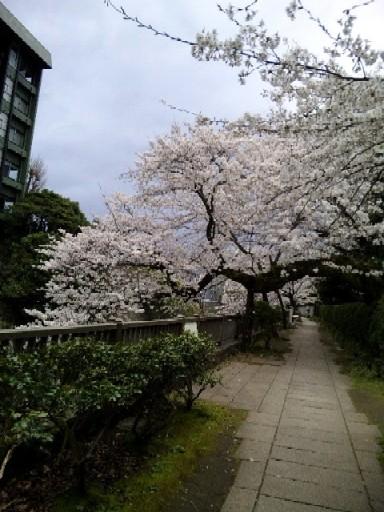2010.4.1遊歩道の桜.jpg