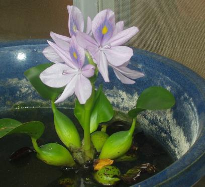 ホテイアオイの花.JPG