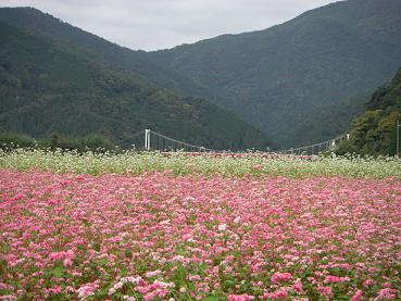 10月12日高嶺ルビー花満開.JPG