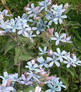 0808_オキシペタラムの花
