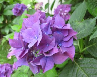 080616_紫陽花