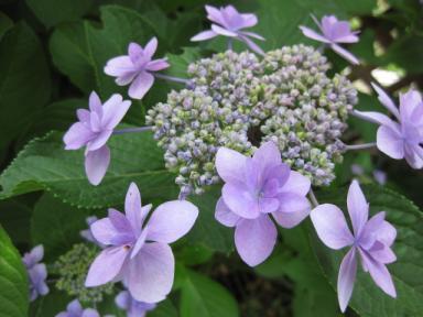 080616_紫陽花(墨田の花火)