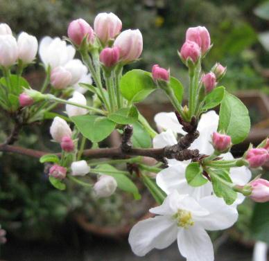 090413_姫林檎の花