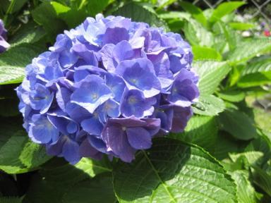 080616_紫陽花3