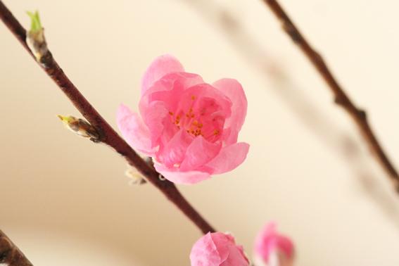 桃の花3.jpg