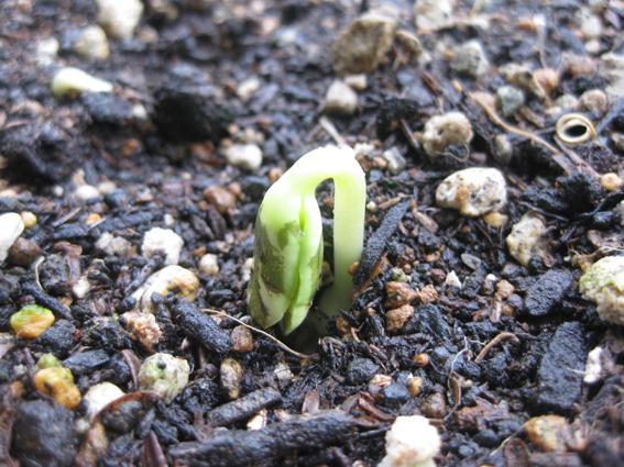 緑のカーテン2011ゴ―ヤの芽が出ました.jpg