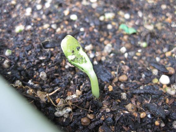 緑のカーテン2011ゴ―ヤの芽が出ました1.jpg