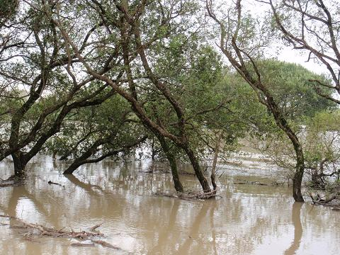 濁流に負けない河川敷の木々