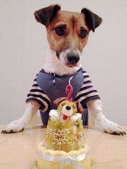 Resultado de imagen para Jack Russell Terrier 誕生日