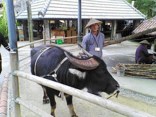 サトウキビを臼で挽く水牛