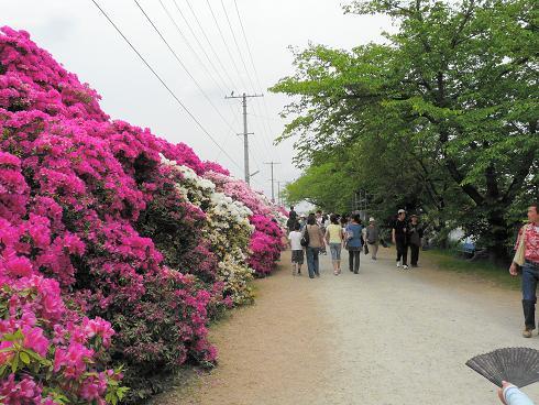 浅香山浄水場つつじの通り抜け