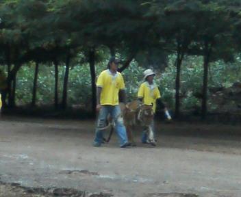 タイガーロードを歩く虎