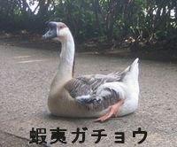 蝦夷ガチョウ.jpg