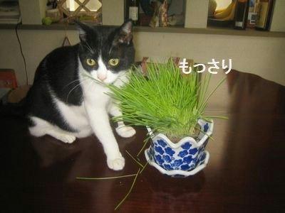 ちび太と猫草.jpg