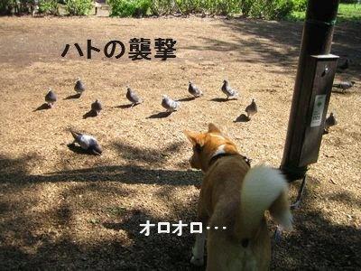 ハト襲撃.jpg