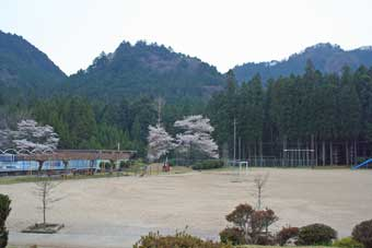 060404校庭桜1